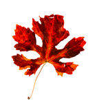 Autumnal leaf Stock Image