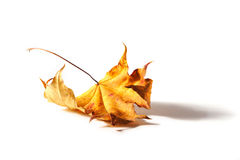 Autumnal Leaf. Fallen crumpled yellow leaf on white background stock photo