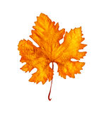 Autumnal leaf Royalty Free Stock Images