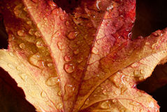 Autumnal leaf royalty free stock photos