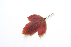 Autumnal leaf. A red leaf on a white background Royalty Free Stock Images