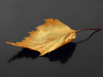 Autumnal leaf. Lonely yellow dry leaf at the black background Stock Photo