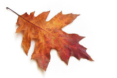 Autumnal Leaf. One beautiful autumnal oak leaf Royalty Free Stock Photography