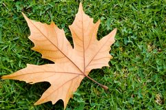 Autumnal Leaf. A fallen leaf from a deciduous tree Stock Photography