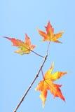 Autumnal leaf Stock Images