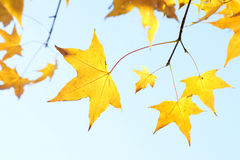 Autumnal leaf Stock Photography