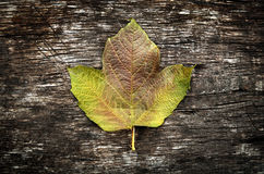 Autumnal Leaf closeup Royalty Free Stock Photography