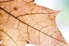 Autumnal leaf design background. Yellow, orange, brown color. transparent maple leaf. textured pattern aging plant Stock Photos