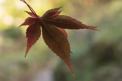 An autumnal leaf Royalty Free Stock Images