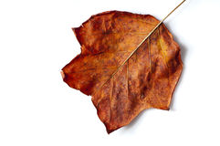 Autumnal leaf isolated on white. Side lit shot of fallen autumn leaf with drop shadow royalty free stock image