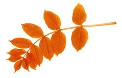 Autumnal leaf isolated on white. Background Stock Image