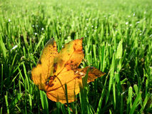 Autumnal leaf on lawn with dew Stock Images