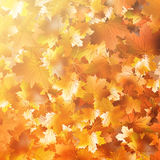 Autumnal leaf of maple and sunlight. EPS 10 Stock Image