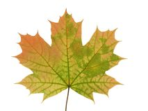 Autumnal leaf of a maple tree isolated on white background. Autumnal leaf of a maple tree isolated on white background royalty free stock image
