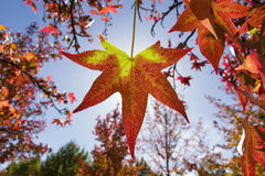 Autumnal leaf in red and yellow Royalty Free Stock Photography