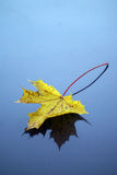Autumnal leaf and reflection Royalty Free Stock Photography