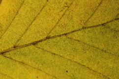 Autumnal leaf texture Stock Images