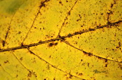 Autumnal leaf texture Royalty Free Stock Image