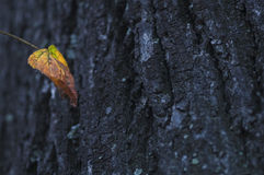 Autumnal leaf and tree trunk Royalty Free Stock Photography