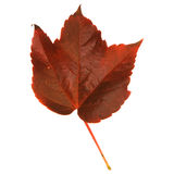 Autumnal leaf of wild grape Royalty Free Stock Image