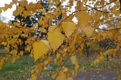 Autumnal leafage of birch in November. Autumnal leafage of birch tree in November Royalty Free Stock Photos