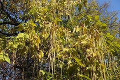 Autumnal leafage and long seed pods of catalpa. Tree Royalty Free Stock Images