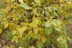 Autumnal leafage of quince in November. Autumnal leafage of quince tree in November Stock Image