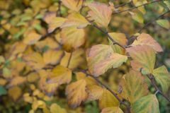 Autumnal leafage of spirea bush. In November Royalty Free Stock Photos