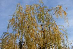 Autumnal leafage of weeping willow against the sky. Autumnal leafage of weeping willow against blue sky Stock Photos