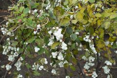 Autumnal leafage and white berries of Symphoricarpos albus. Snowberry bush Royalty Free Stock Photography