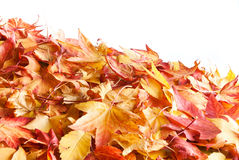 Autumnal leafs. Colorful autumnal leafs isolated on white background Stock Images