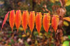 Autumnal leafs Royalty Free Stock Photography