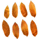 Autumnal Leafs Set Royalty Free Stock Photography