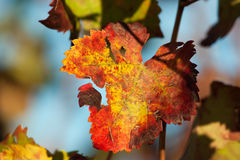 Autumnal leave brightly coloured Royalty Free Stock Image