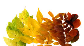 Autumnal leaves. Autumnal leafs, gradient fron green to red Stock Photo