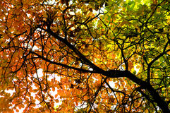 Autumnal leaves. Underside of tree canopy with leaves changing color from Summer green to Autumn Stock Image