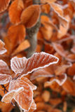 Autumnal leaves. Brown autumnal leafs with frost Royalty Free Stock Image