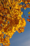Autumnal leaves. Autumn. Yellow leaves and the blue sky Stock Photos