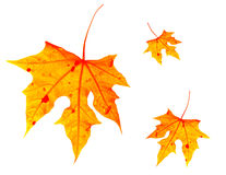 Autumnal leaves Stock Photos