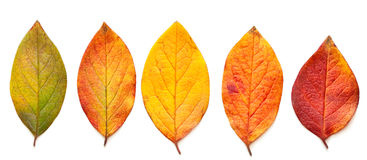 Autumnal leaves. Autumnal leaves isolated on a white background Royalty Free Stock Photography