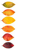 Autumnal leaves. Autumnal leaves isolated on a white background Royalty Free Stock Images