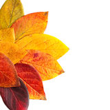 Autumnal leaves. Autumnal leaves isolated on a white background Stock Photos