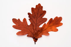Autumnal leaves. Three autumnal leaves arranged to form one leaf Royalty Free Stock Photos