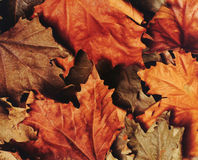 Autumnal leaves. Texture Royalty Free Stock Image