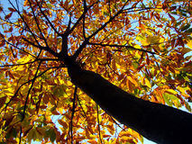 Autumnal leaves. Trees with colorful autumnal leaves Royalty Free Stock Photos