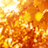 Autumnal leaves background Royalty Free Stock Photo