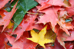 Autumnal leaves Royalty Free Stock Photography