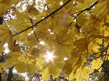 Autumnal leaves Royalty Free Stock Photo