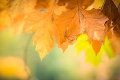 Autumnal leaves in blurred background, brown foliage, sunlight Stock Photography