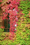 Autumnal leaves on building. Colorful Autumnal leaves on building exterior around window Royalty Free Stock Image